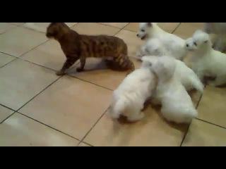 Песики достают кота